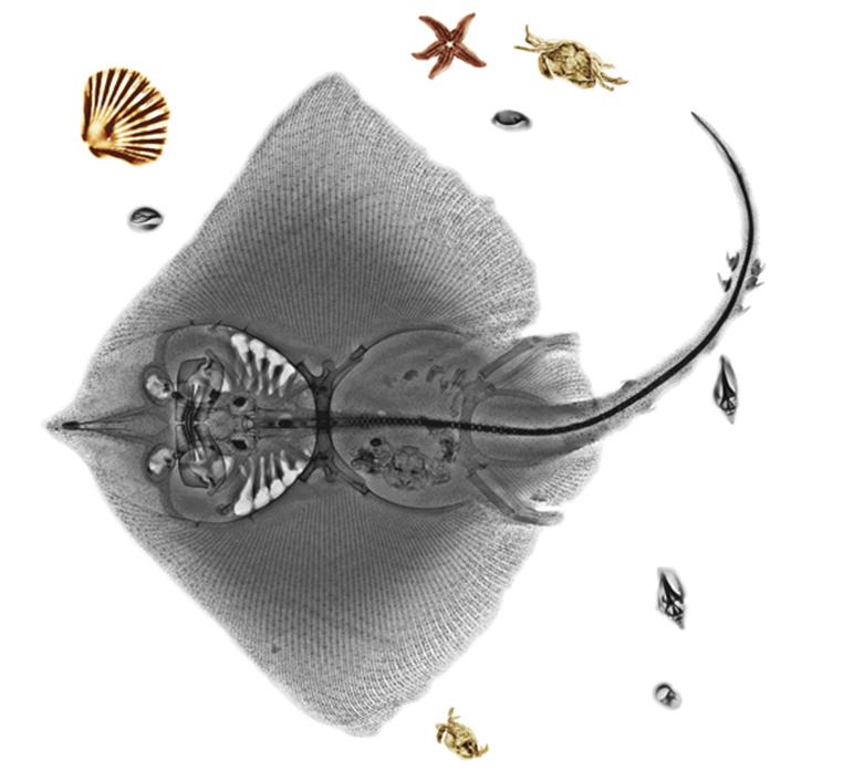 raio-x-da-natureza-raia
